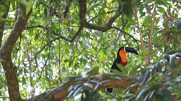 Tucán Amazonia