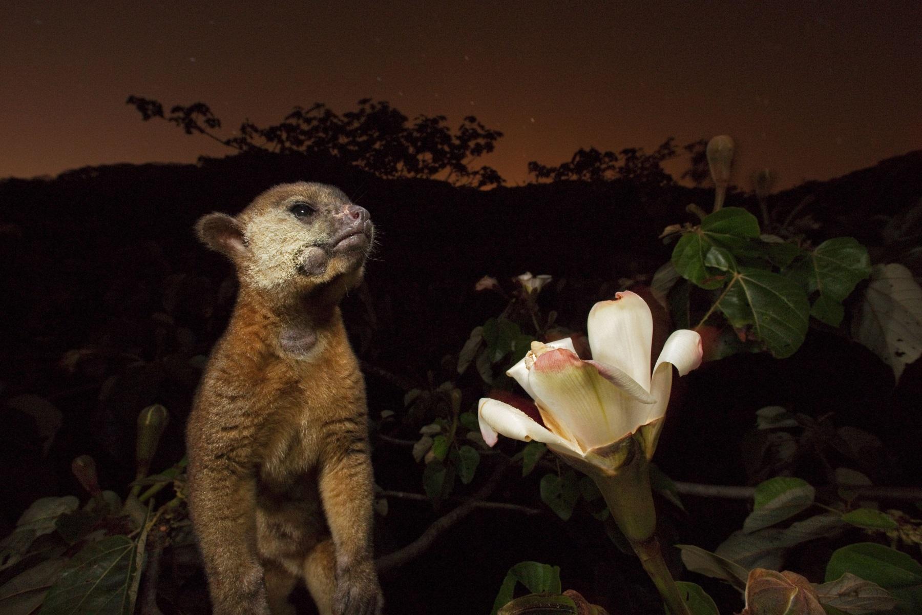Un kinkajú con el hocico cubierto de polen luego de sorber el néctar de una flor del árbol de balsa.
