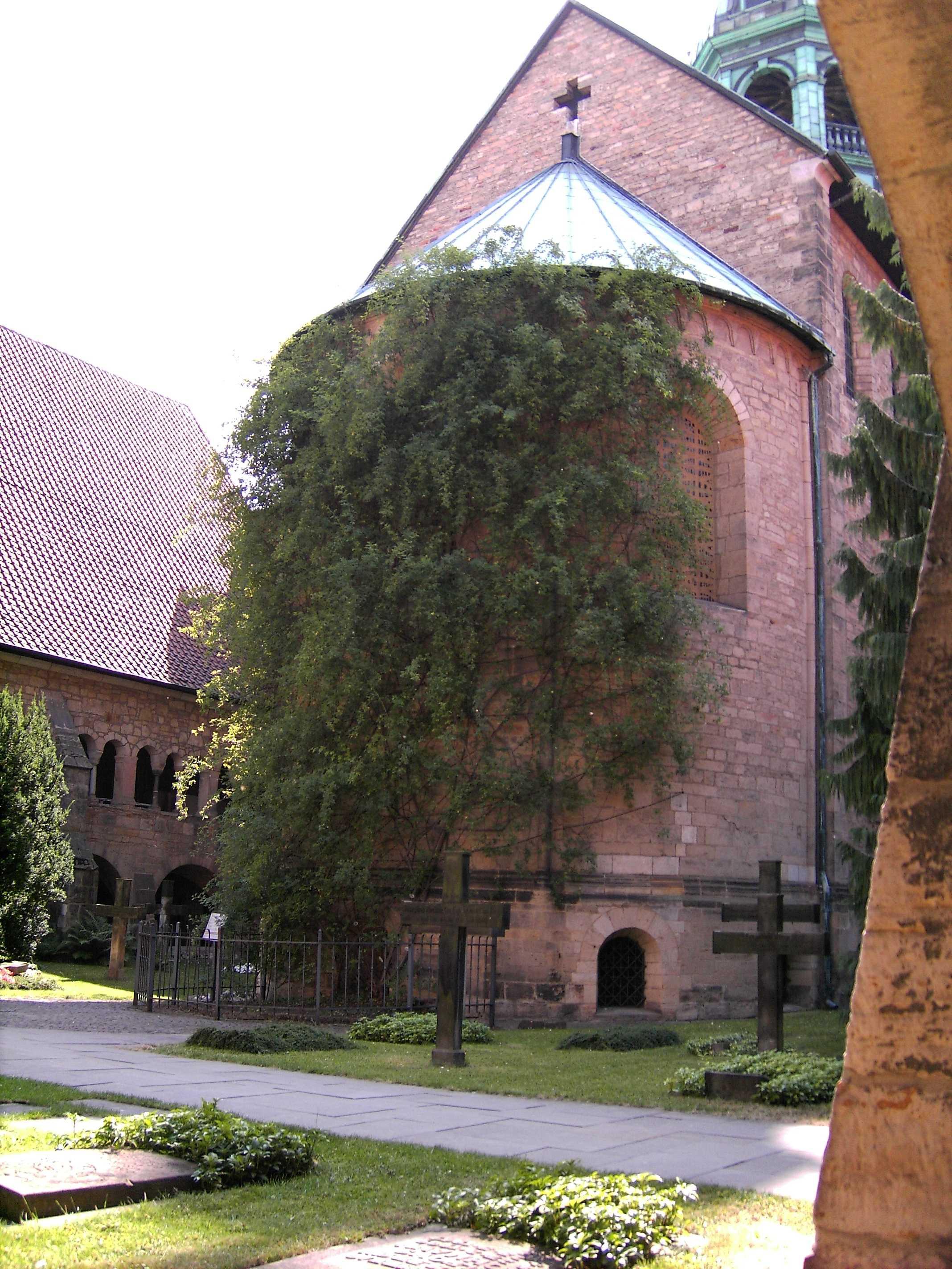 El rosal sobrevivió incluso a los bombardeos de la Segunda Guerra Mundial, creciendo prácticamente adherida a uno de los muros de la catedral de Hildesheim. Si bien las bombas destruyeron parte de la catedral y, junto a ella, al rosal, la raíz quedó intacta y volvió a crecer hasta alcanzar el tamaño que hoy tiene.