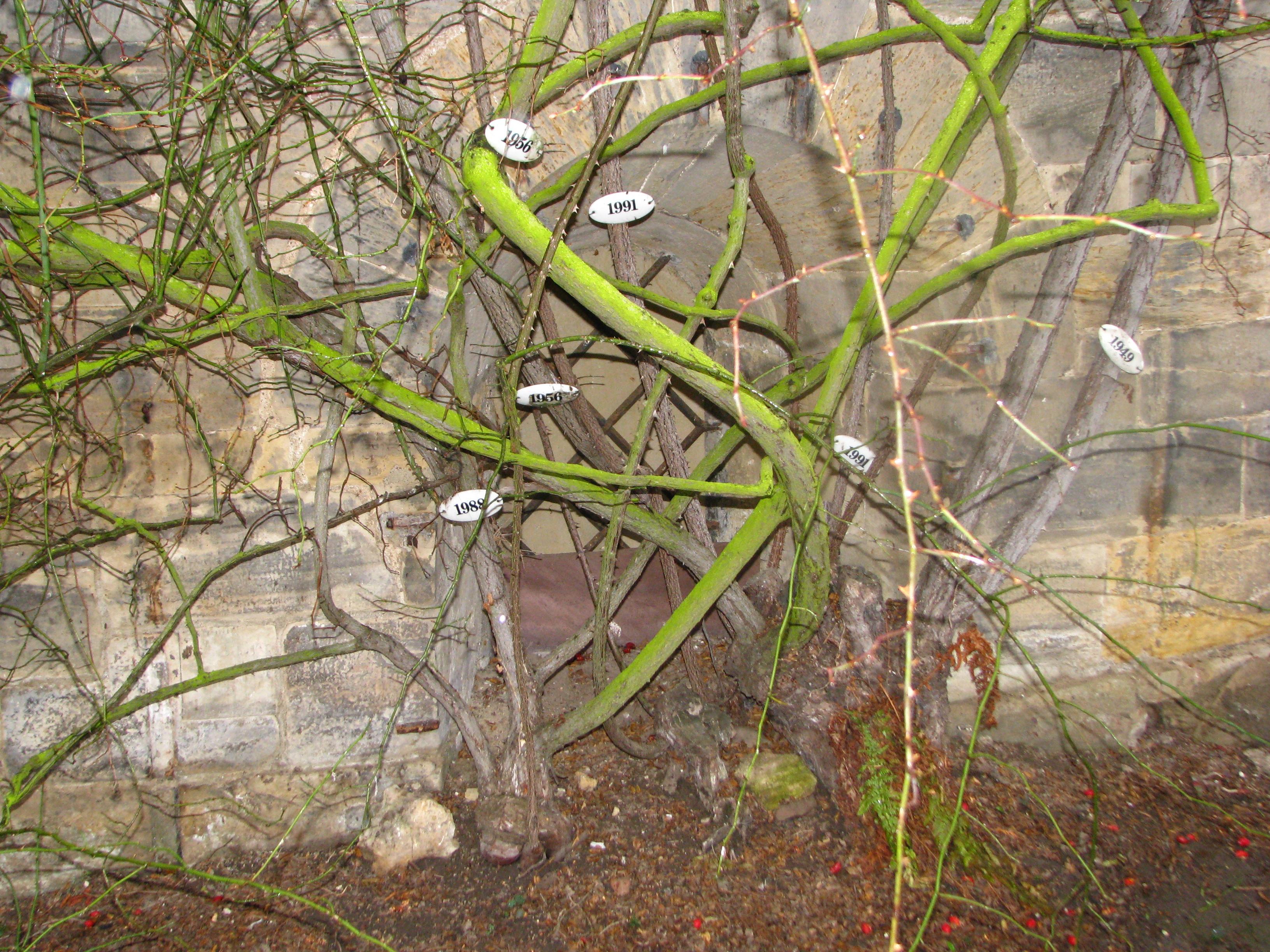 Las raíces del rosal han sido identificadas y catalogadas para poder protegerlas y conservarlas mejor.Foto de Michael Fiegle - Transferred from de.wikipedia to Commons by Ireas using CommonsHelper., CC BY-SA 3.0,