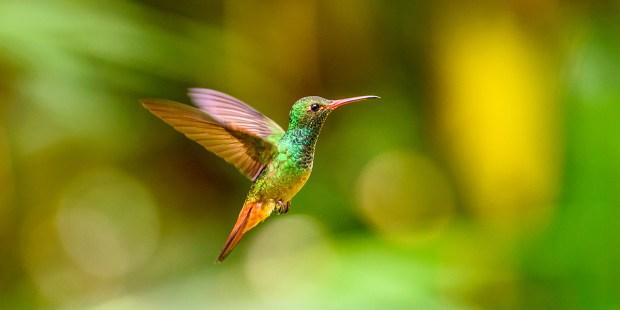 HUMMERINGBIRD