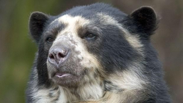 ANDEAN BEAR