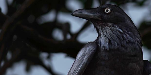 RAVEN,BLACK,BIRD