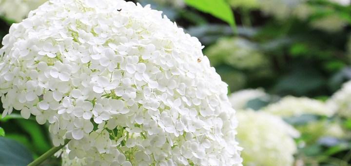 HYDRANGEA; FLOWER
