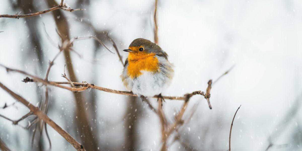 ROBIN, BIRD, SNOW